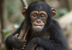 فیلم مستند «شامپانزه»          www.filimo.com/m/sghjB